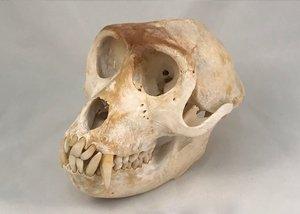 Rhesus Monkey Skull